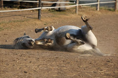 Славная завальцовка лошади стоковое изображение