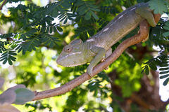 Славная зеленая ящерица хамелеона Стоковая Фотография