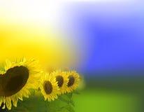 Славная предпосылка утра с солнцецветами Стоковое Изображение
