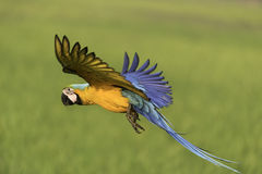 Славная свобода летания птицы в природе стоковое фото