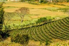 Славная слива обнажает близрасположенные плантации чая Стоковая Фотография