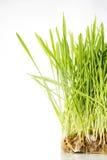 Славная трава пшеницы Стоковые Фотографии RF