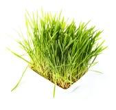 Славная трава пшеницы Стоковая Фотография