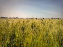 Славная ферма пшеницы Стоковая Фотография RF