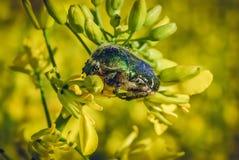 Славная яркая детальная предпосылка при черепашка есть канола цветок Съемка фото макроса в современном стиле Конец в реальном маш Стоковые Фото