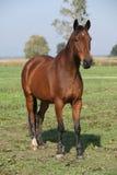 Славное коричневое warmblood стоя в осени Стоковое Фото