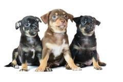 Славное одно коричневое и черный щенок чихуахуа 2 Стоковое Фото