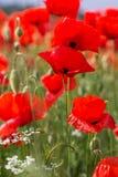 Славное поле красных цветков мака Стоковые Фотографии RF