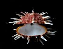 Славное spondylus seashell regius в черной темной предпосылке, океане, конце вверх, остров phillipine Стоковое фото RF