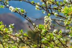 Славные цветения сливы зацветая в предыдущей весне Стоковые Изображения RF