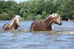 Славные haflingers в воде Стоковое Изображение
