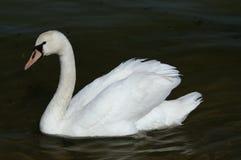 Славный белый лебедь Стоковое фото RF