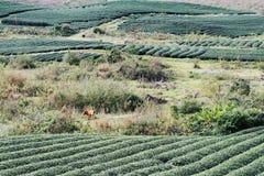 Славный взгляд прокладок чая на плантации чая Стоковые Изображения