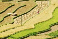 Славный взгляд террасных полей во времени сбора Стоковое Фото