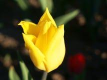 Славный желтый тюльпан стоковое изображение