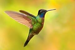 Славный колибри, пышный колибри, fulgens Eugenes, летая рядом с красивым желтым цветком с цветками на заднем плане, Стоковые Фото