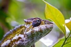 Славный красочный хамелеон, ящерица cameleon Стоковые Фото