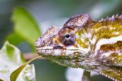 Славный красочный хамелеон, ящерица cameleon Стоковое Фото