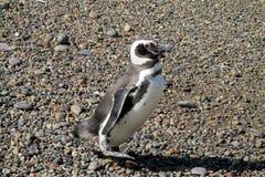 Славный маленький magelan пингвин Стоковые Изображения