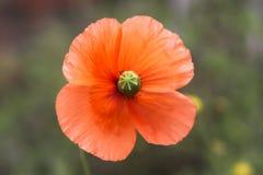 Славный оранжевый цветок Стоковое Изображение