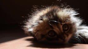 Славный пушистый котенок сток-видео