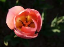 Славный розовый тюльпан стоковая фотография rf