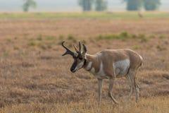 Славный самец оленя антилопы Pronghorn Стоковая Фотография