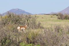 Славный самец оленя Pronghorn Стоковые Фотографии RF