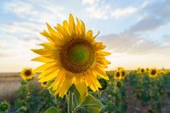 Славный солнцецвет на после полудня стоковое фото rf