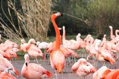 Славный фламинго в зоопарке Стоковая Фотография RF