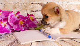 Славный щенок чихуахуа лежа на тетради Стоковое фото RF