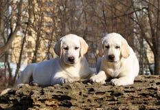 2 славных желтых счастливых щенят labrador в саде Стоковое Изображение