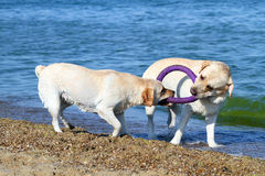 2 славных labradors играя в море с игрушкой Стоковое Изображение