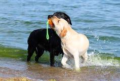 2 славных labradors на море играя с шариком Стоковое Изображение RF