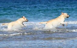 2 славных labradors на море с шариком Стоковая Фотография RF