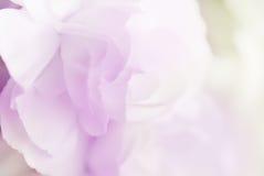 Сладостная гвоздика цвета в нежности и нерезкость вводят предпосылку в моду Стоковая Фотография