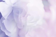 Сладостная гвоздика цвета в нежности и нерезкость вводят предпосылку в моду стоковое фото