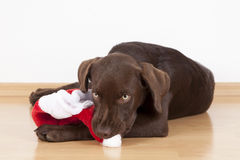 Сладостная маленькая коричневая собака Лабрадора с костюмом Стоковое Изображение