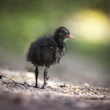 Сладостная маленькая черная утка стоковое фото rf