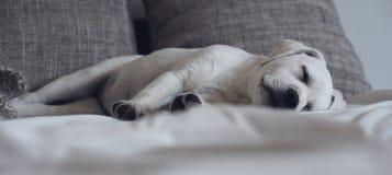Сладостная милая собака щенка Лабрадора спать на кресле в его кровати Стоковое фото RF