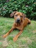 Сладостная собака кладя в траву Стоковые Фото