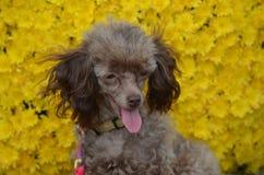 Сладостная собака пуделя игрушки Брайна Стоковое фото RF