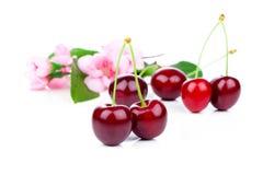 Сладостные вишни с цветками Стоковая Фотография RF