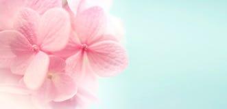 Сладостные гортензии лепестка цвета Стоковые Фото