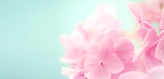 Сладостные гортензии лепестка цвета Стоковое Изображение
