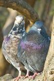 Сладостные голуби пар Стоковые Изображения RF