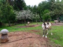Сладостные олени Стоковая Фотография