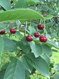 Сладостные темные вишни Стоковое фото RF