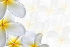Сладостные multi цветки Plumeria (frangipani) Стоковое Изображение RF