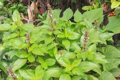 Сладостный базилик в малом саде Стоковые Фотографии RF
